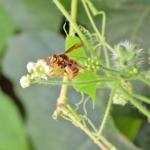 アメリカ乾材白アリ
